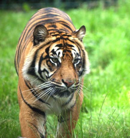 Alter Tiger, Dublin Zoo